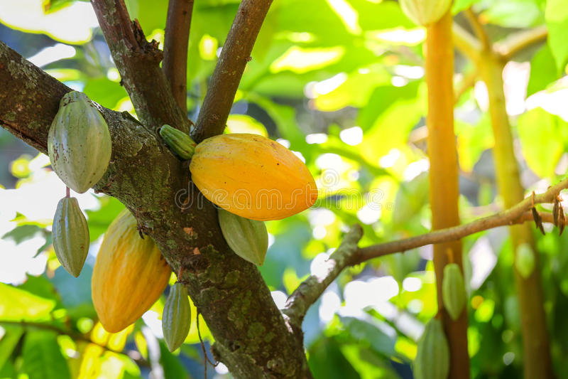 Kakaofrüchte auf dem Baum stockfoto