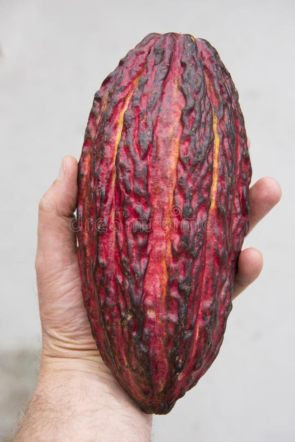 Kakaofrucht in der Hand, Quelle aller Schokolade stockfoto