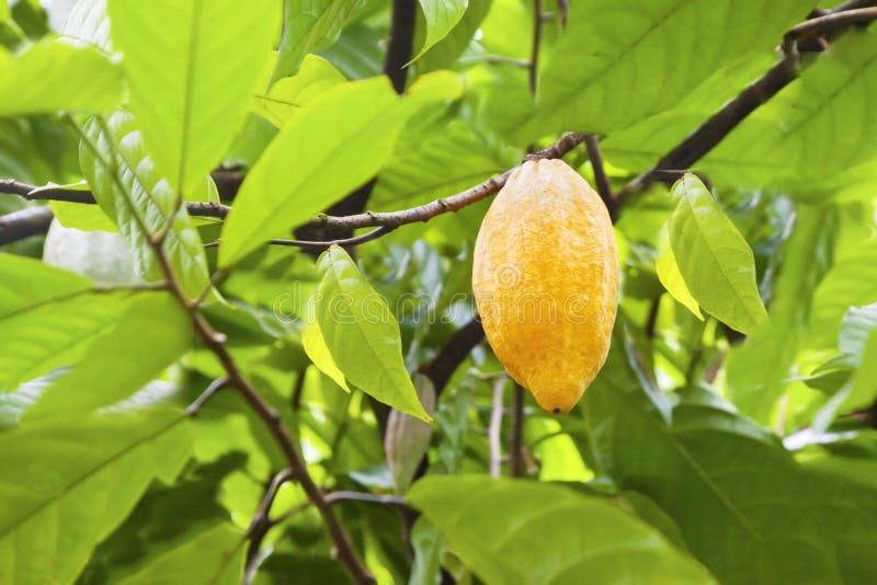 Kakaofrukter fotografering för bildbyråer