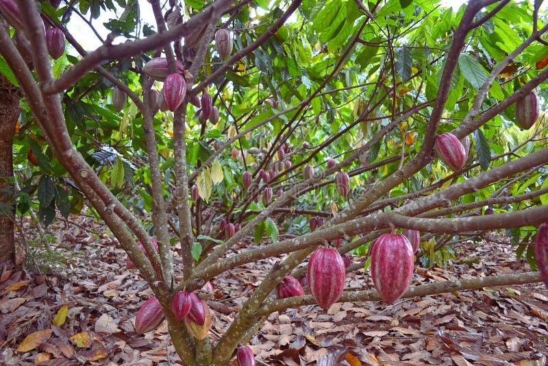 Kakaofrukter som hänger från träd royaltyfria bilder
