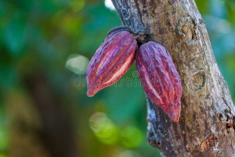 Kakaohülsen stockfotos