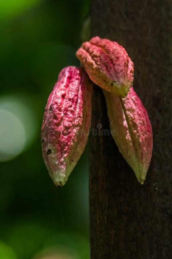 Kakaohülsen stockfoto