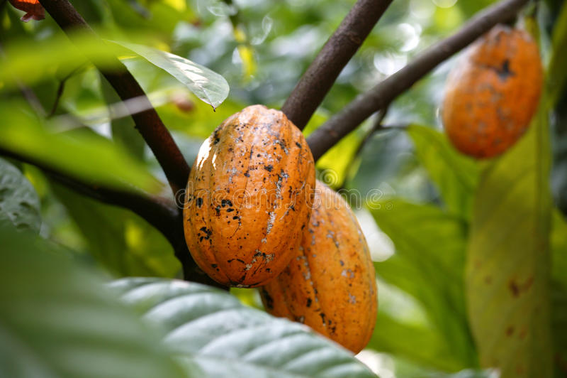 Kakaomuttrar på den Sahakari kryddalantgården, Curti, Ponda, Goa tillstånd, INDIEN arkivbilder