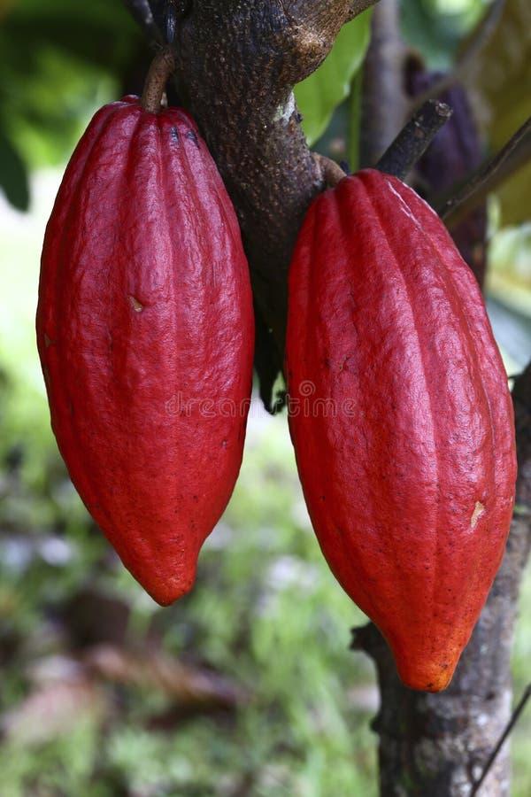 Kakaoträd med fröskidor fotografering för bildbyråer