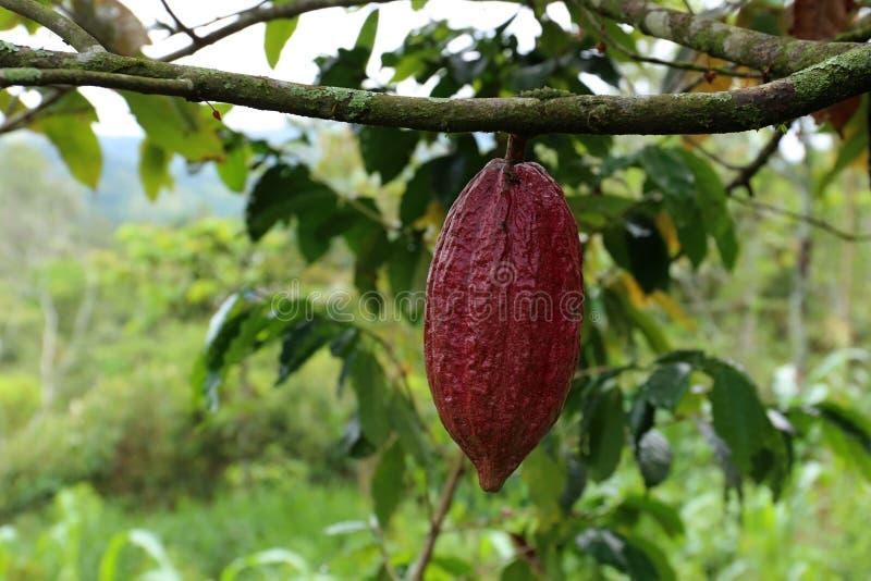 Kakaoträd - Theobromakakao - organisk kakaofrukt arkivbilder