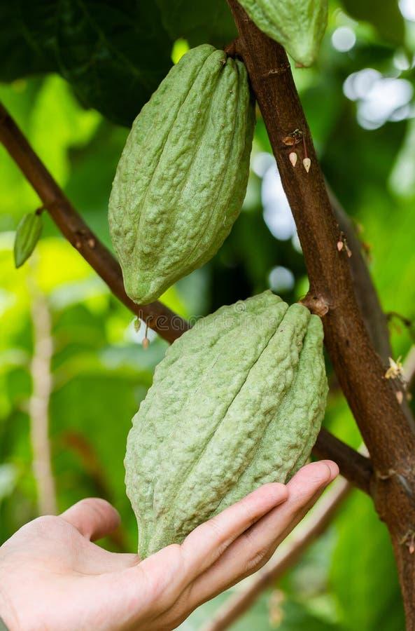 Kakaoträd (Theobromakakao) Organiska kakaofruktfröskidor i natur royaltyfria bilder