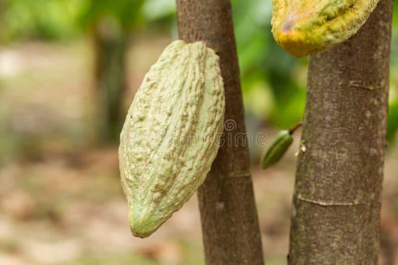 Kakaotr?d (Theobromakakao) Organiska kakaofruktfr?skidor i natur fotografering för bildbyråer