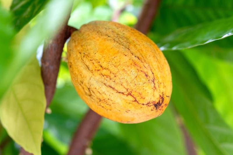 Kakaoväxtfrukt arkivfoton
