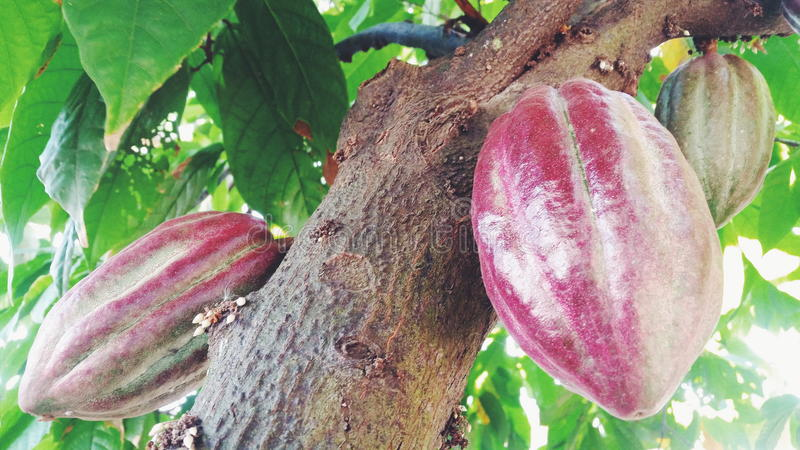 Kakaowy Owocowy drzewo obraz stock