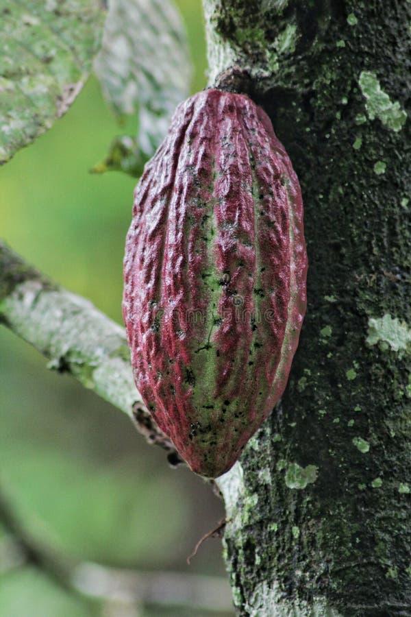 Kakaowy pudding zdjęcie stock