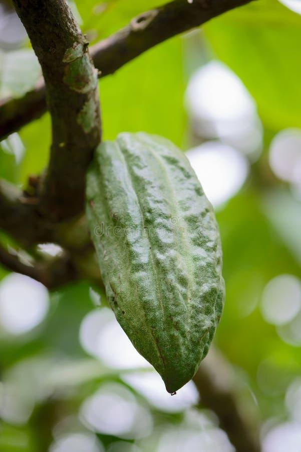 Kakaowy strąk na drzewie zdjęcia royalty free