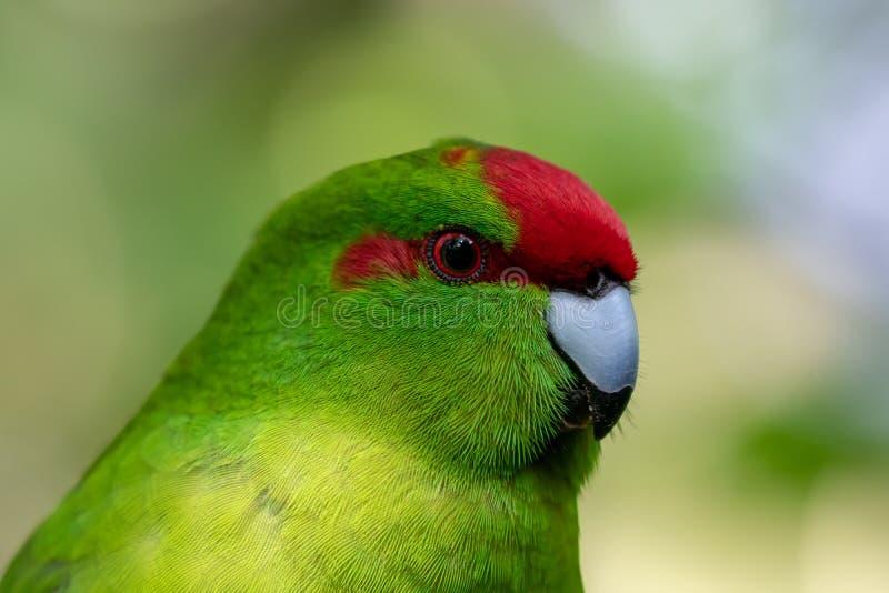 Kakariki, длиннохвостый попугай Новой Зеландии увенчанный красным цветом зеленый стоковое изображение