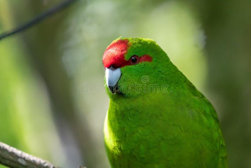 Kakariki, длиннохвостый попугай Новой Зеландии увенчанный красным цветом зеленый, предпосылка леса стоковые фотографии rf