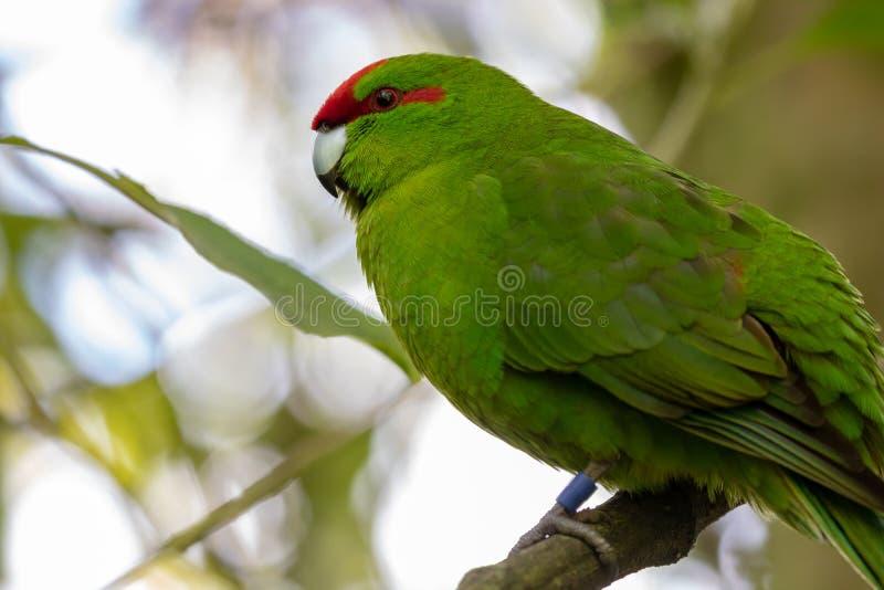 Kakariki, конец длиннохвостого попугая Новой Зеландии увенчанный красным цветом зеленый вверх стоковая фотография rf
