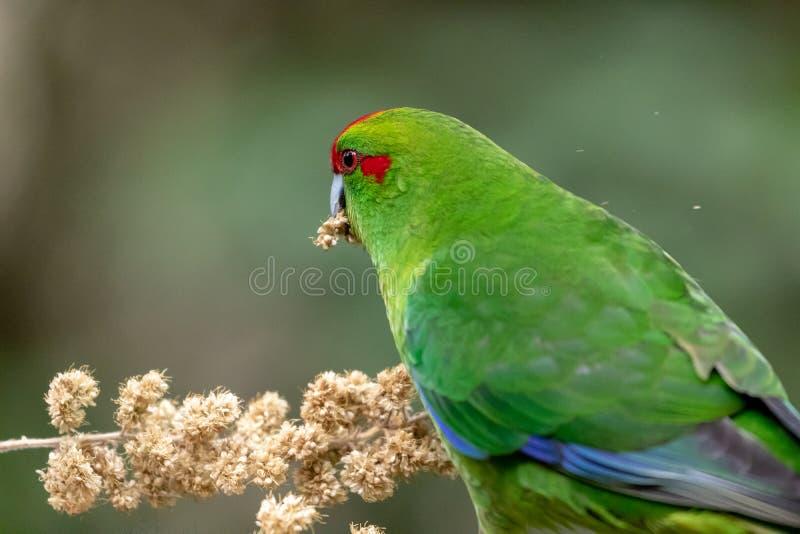 Kakariki, de Rode Bekroonde Groene Parkiet van Nieuw Zeeland stock foto's