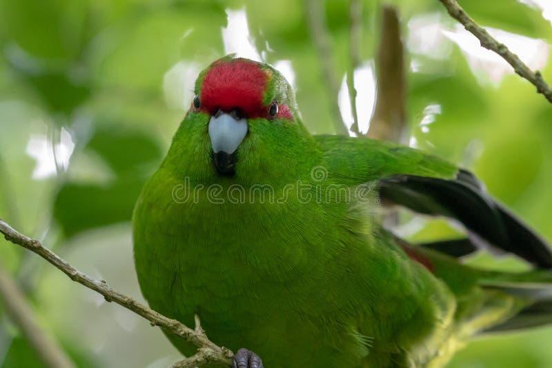 Kakariki, de Rode Bekroonde Groene Parkiet van Nieuw Zeeland stock fotografie