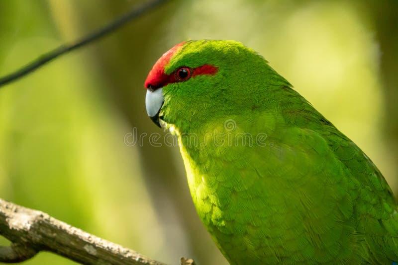 Kakariki, de Rode Bekroonde Groene Parkiet van Nieuw Zeeland royalty-vrije stock foto's
