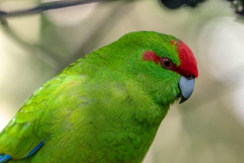 Kakariki, de Rode Bekroonde Groene Parkiet van Nieuw Zeeland dicht omhoog stock foto's