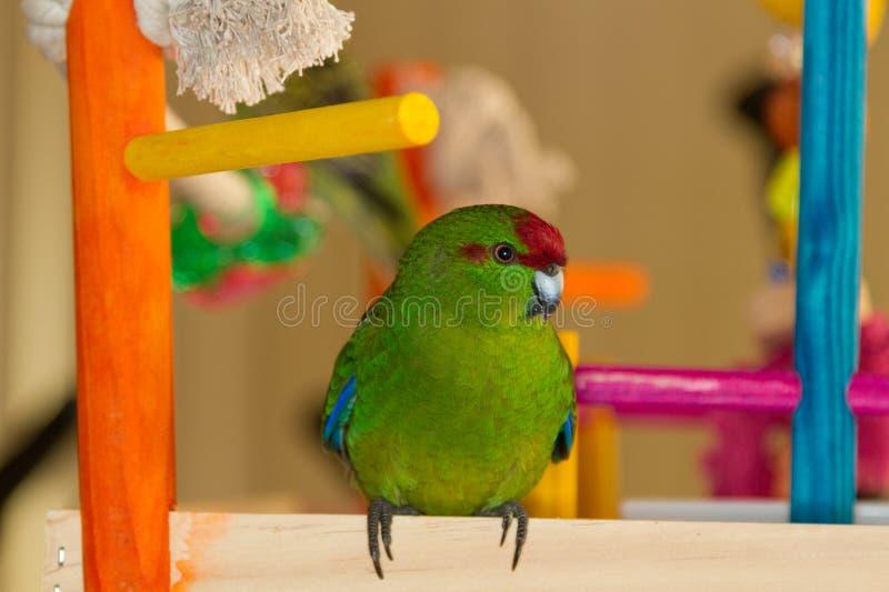 Kakariki papegoja arkivbild