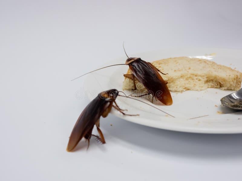 Kakerlaken auf dem ganzen Weizenbrot in weißer Platte, Kakerlaken sind Träger der Krankheit stockfotos