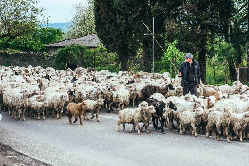 Kakheti. REGION, GEORGIA - APRIL 20, 2015: Georgian shepherd leads his goat and sheep flock in  region, Georgia, Caucasus royalty free stock image