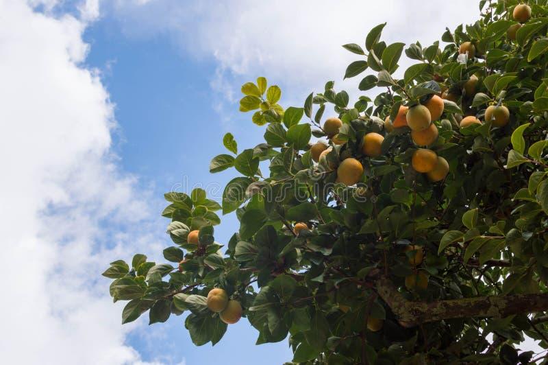 Kaki Diospyros дерева хурмы стоковые изображения rf