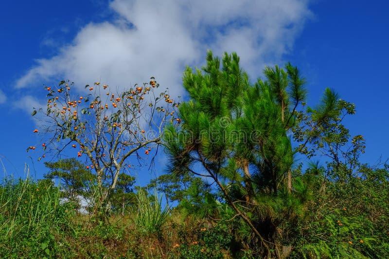Kaki för träd för japansk persimon med frukter royaltyfri bild
