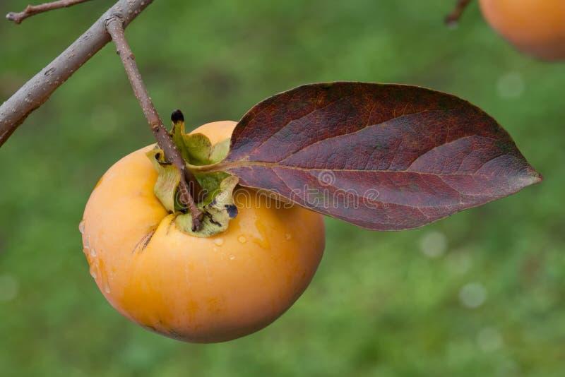 Kaki Fruit madura fotos de stock royalty free