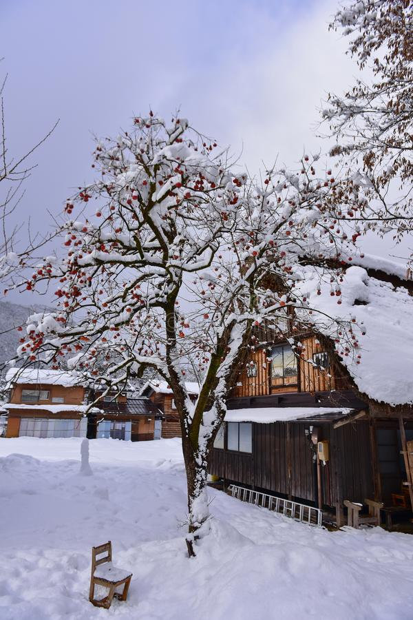 A kaki persimmon tree outside a historic house in Shirakawa-go in winter, a UNESCO world heritage site in Japan. A kaki persimmon tree outside a historic house stock photography
