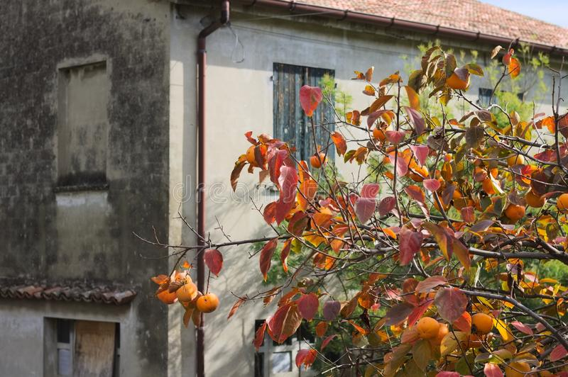 Kaki tree with orange persimmon fruits near an abandoned house royalty free stock images