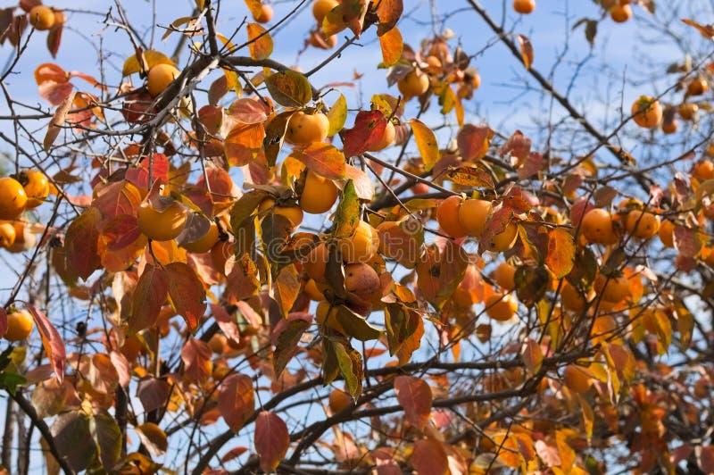 Kaki tree with orange persimmon fruits. Pesaro, Italy stock photos