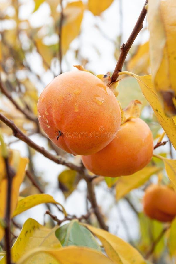 Kakipflaumenbaumbaum mit den Kakipflaumenbaumfrüchten bereit geerntet zu werden stockfoto