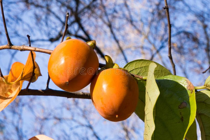 Kakis oranges accrochant sur l'arbre, la Californie image stock
