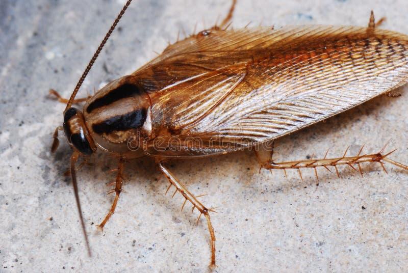 Kakkerlak royalty-vrije stock afbeelding