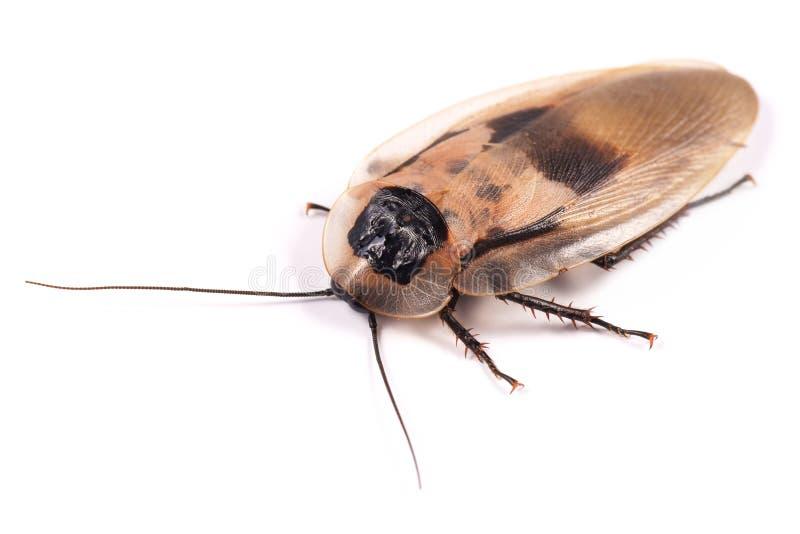 Kakkerlak Blaberus craniifer stock foto's