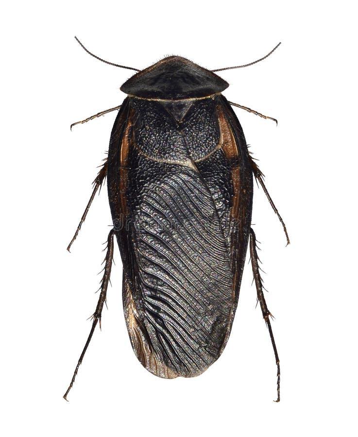 Kakkerlak, Egyptische woestijnvoorn, Polyphaga-aegyptiaca royalty-vrije stock fotografie