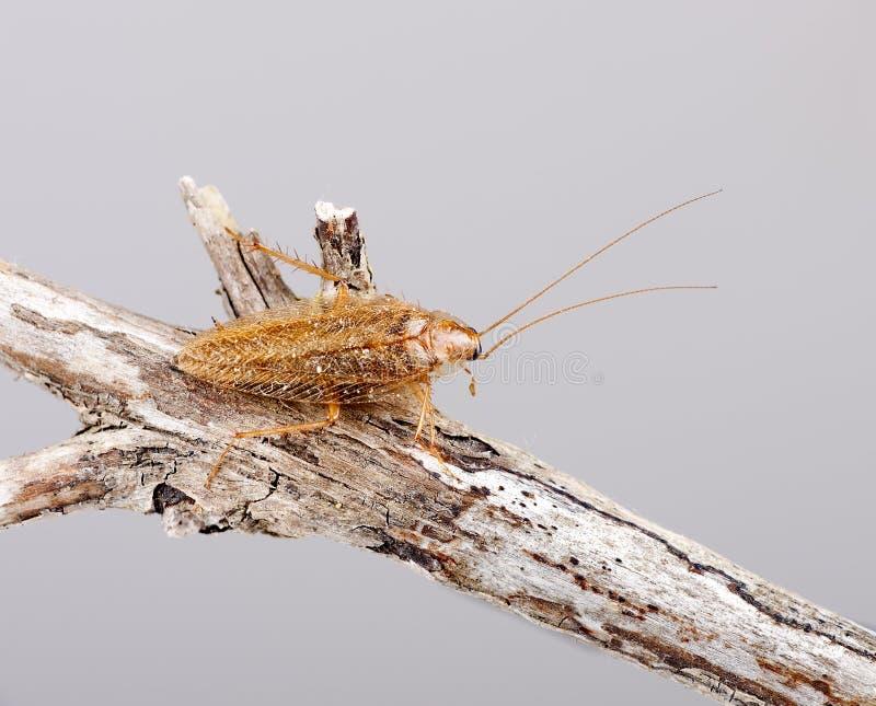 Kakkerlak - germanica Blatella op takje royalty-vrije stock afbeeldingen