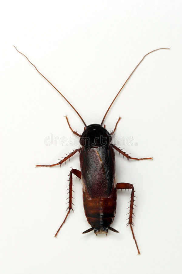 Kakkerlak op witte achtergrond royalty-vrije stock foto