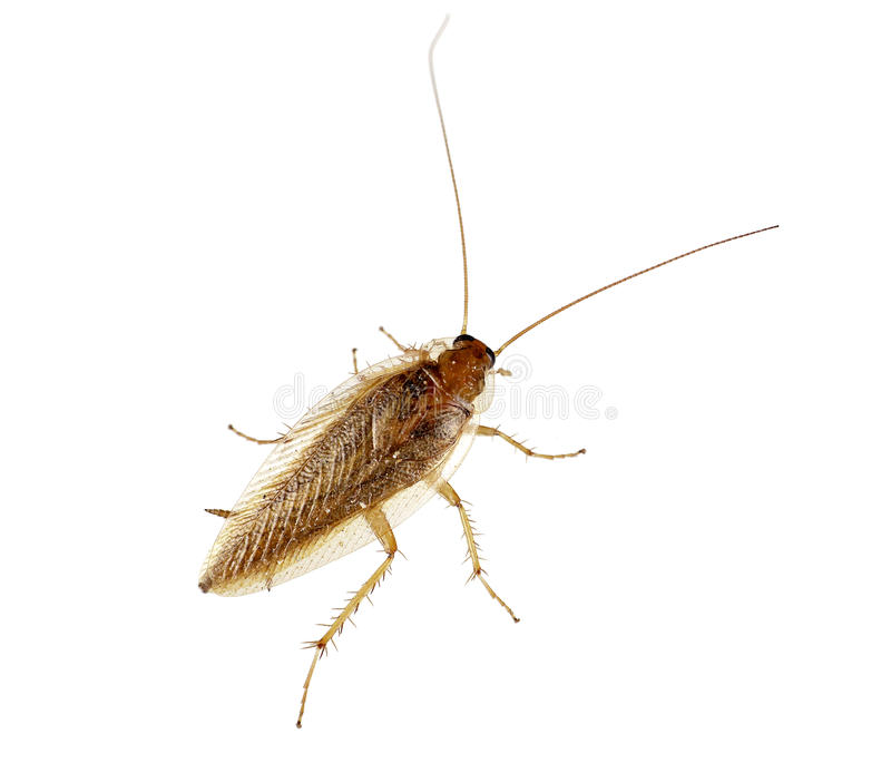 Kakkerlak over wit - germanica Blatella stock afbeelding