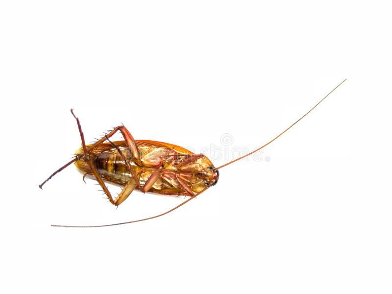 Kakkerlakken die, uiteinde over geïsoleerd op witte achtergrond volkomen liggen stock fotografie