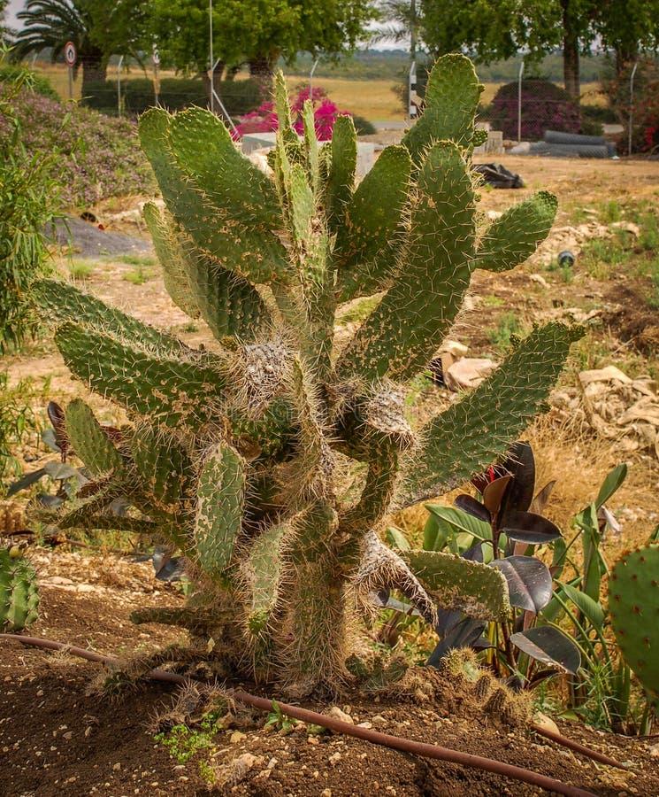 Kakteen in der Wüste stockfotografie