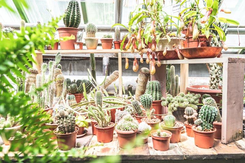 Kakteen, die in den Töpfen in einem Gewächshaus wachsen stockfotografie