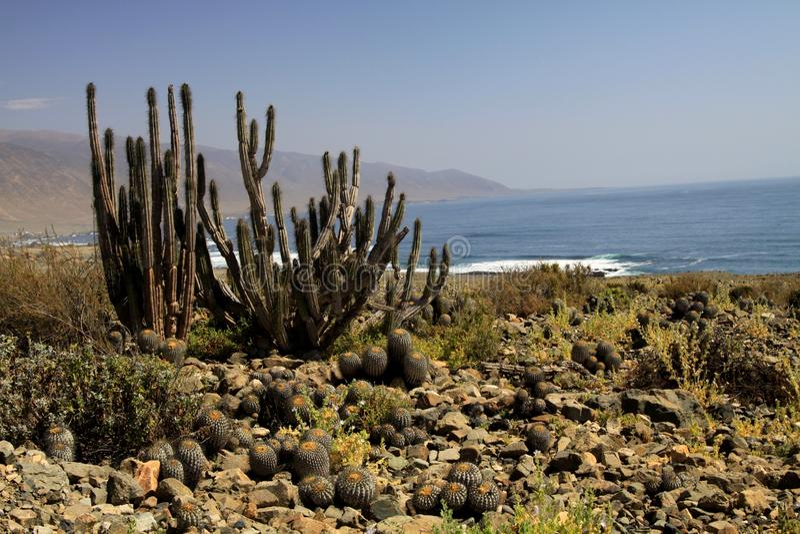 Kakteen Eulychnia-iquiquensis und Copiapoa-tenebrosa an der Küstenlinie von Atacama-Wüste nahe Pan de Azucar, Chile lizenzfreie stockfotos