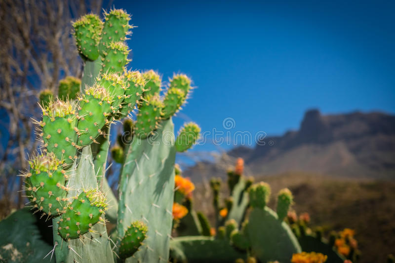 Kakteen von Gran Canaria stockfotos