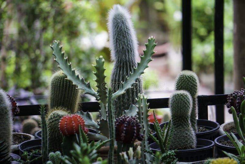 Kaktuns är en spännande houseplant som har en stor effekt i en inre och ofta utvecklingar av erfarenhet med dess ägare arkivfoto