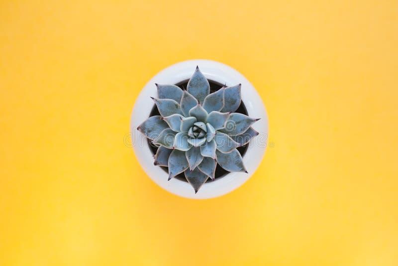 Kaktuns är en suckulent växt på en gul bakgrund arkivfoton
