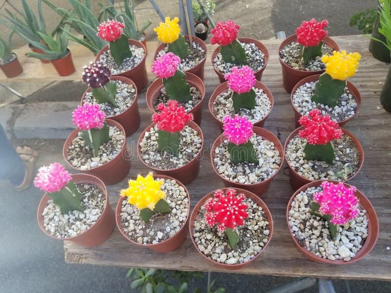 Kaktuns planterar färgrikt arkivbild