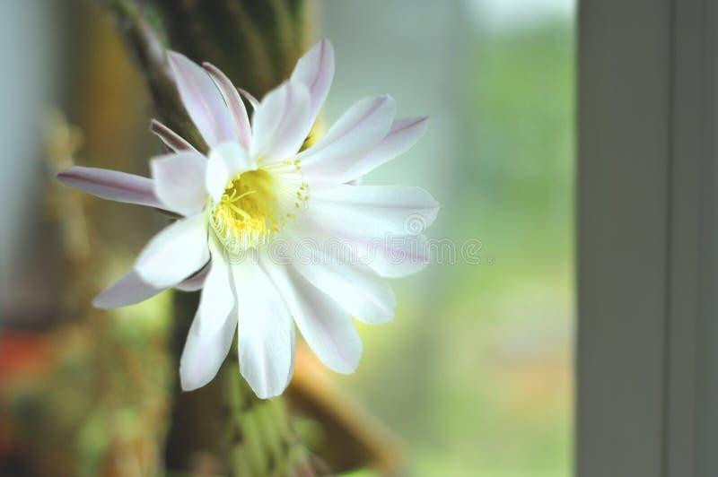 Kaktuns som itu blommar, färgar försiktigt rosa på fönsterbrädan arkivfoto