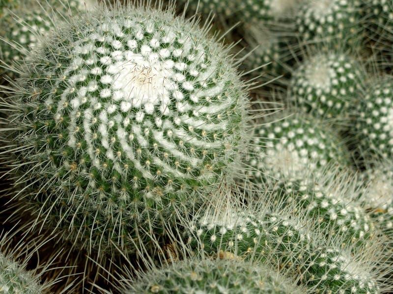 Kakturs kaktus, växt, suckulent som är taggig royaltyfria foton