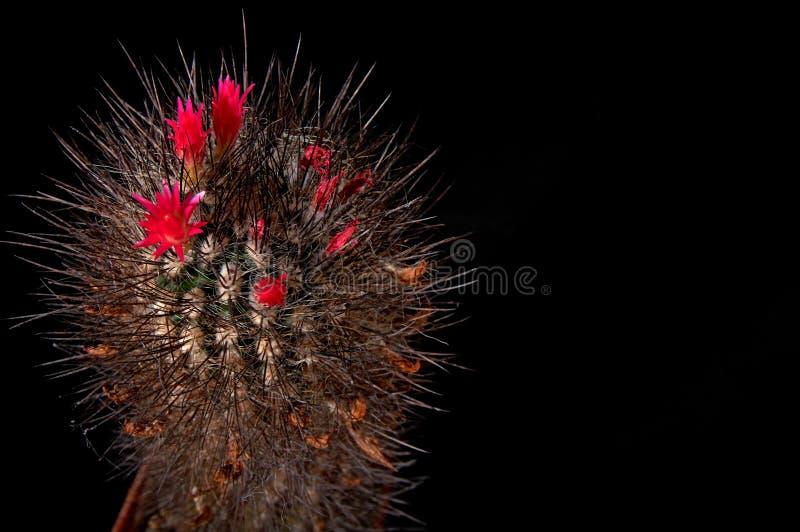 Kaktusów kwiatów kolorowa czerwień kwitnie na czarnym tle dla cięcia out Kaktusowy czekoladowy kolor z długimi czarnymi igłami ko obraz stock
